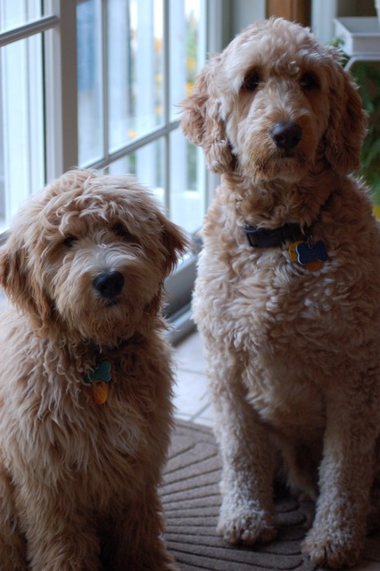 F1b Goldendoodle A Perfect Pet