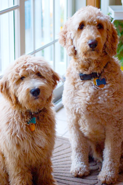 Goldendoodles compared to Labradoodles