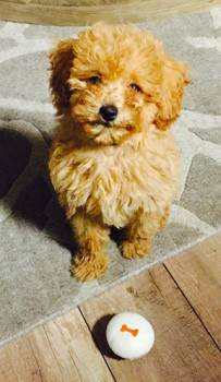 Denver-toy-Goldendoodle-puppy