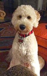 Oscar Goldendoodle puppy