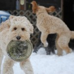 Goldendoodles at play
