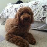 Cooper_Howk_Goldendoodle_Dec_2011