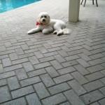 Cooper_mini_goldendoodle