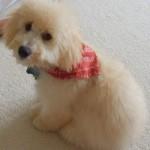 Max_Hermes_mini_goldendoodle