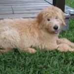 Khloe - Goldendoodle puppy