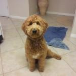 Lola_f1b_goldendoodle