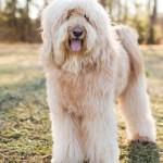 Goldendoodle-Murphy