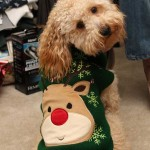 Goldendoodle-in-Christmas-sweater