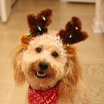 Jackson the Goldendoodle puppies for sale charlotte nc