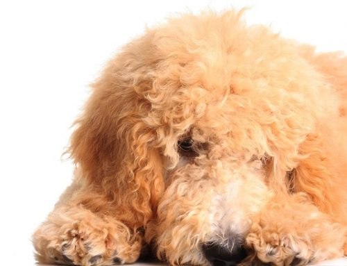Why The Goldendoodle Makes A Particularly Great Service Dog