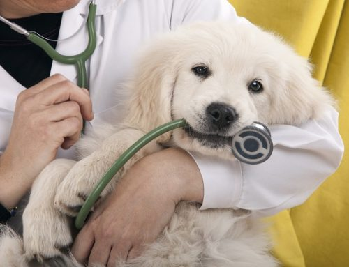 3 Potential Goldendoodle Health Issues To Know