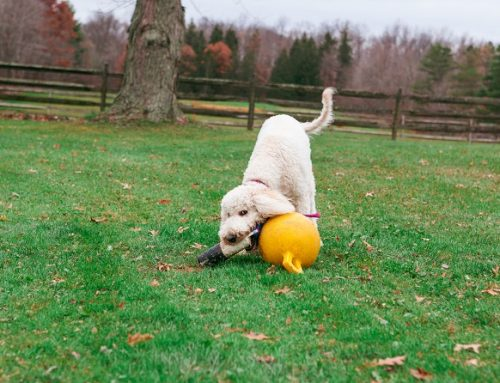 The Qualities That Make Goldendoodles So Popular