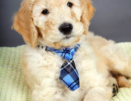 Should I Get a Goldendoodle? Useful Info To Help You Decide