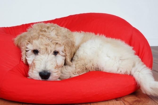 Blue Ridge Goldendoodle Puppies