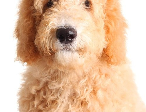 The Common Goldendoodle Sizes — Which Is Best For You?