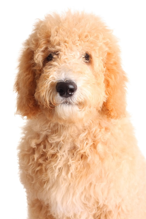 Blue Ridge Goldendoodle Puppies