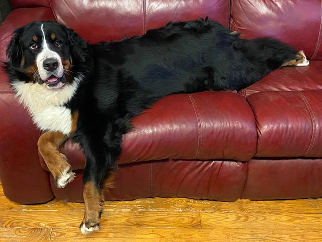 millie the Bernese dog
